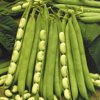 Dwarf Bean Flagrano (Flageolet) Seeds
