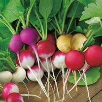 Radish Bright Lights Seeds