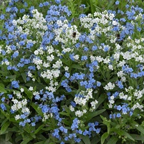Chinese Forget-Me-Not Chill Out Seeds