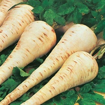 Parsnip Gladiator F1 Seeds
