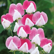 Sweet Pea Painted Lady Seeds