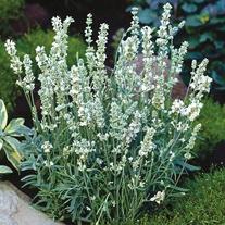 Lavender Ellagance Ice Seeds