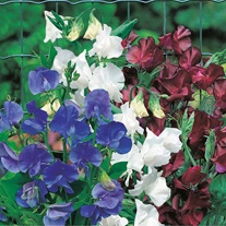 Sweet Pea Little Bit 'O Magic Seeds