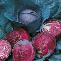 Cabbage (Red) Rodeo F1