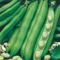 Broad Bean Witkiem Vroma Seeds