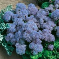 Ageratum Blue Mink Flower Seeds