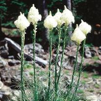 Xerophyllum Bear Grass Seeds