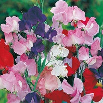 Sweet Pea Galaxy Mixed Seeds