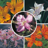 Alstroemeria Mixture Seeds