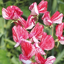 Sweet Pea Queen of the Isles Seeds