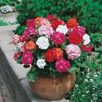 Geranium Mr F's Mophead Selection Mixed F1 Seeds
