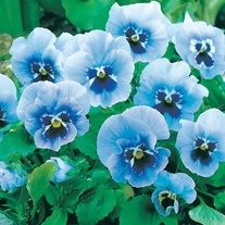 Pansy Joker Light Blue F2 Seeds