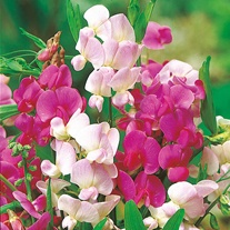 Sweet Pea Everlasting Mixed Seeds