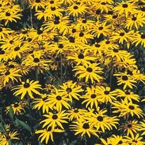 Rudbeckia fulgida var. speciosa Seeds