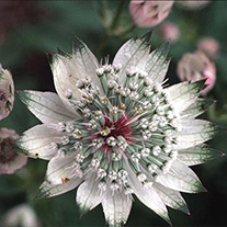 Astrantia Shaggy Seeds