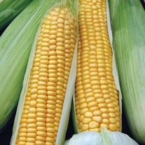 Sweet Corn Swift F1 Seeds