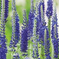 Veronica Seeds - Blue Bouquet F1