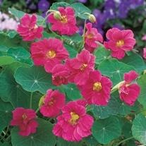 Nasturtium Jewel Cherry Rose Seeds