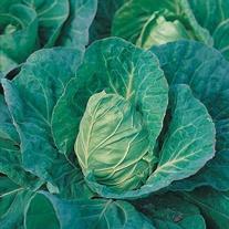 Cabbage Greyhound Seeds