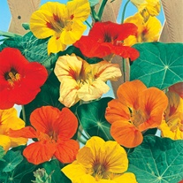 Nasturtium Tall Single Mixed