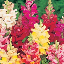 Antirrhinum Intermediate Mixed