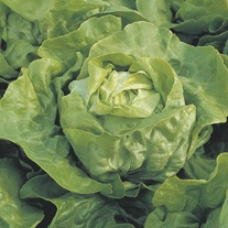 Lettuce Clarion Seeds