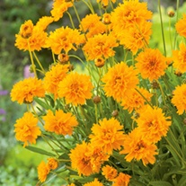 Coreopsis Early Sunrise Flower Plants