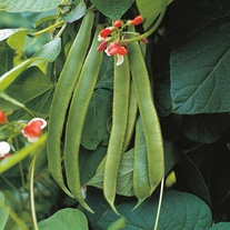 Runner Bean Painted Lady Seeds