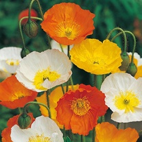 Poppy Iceland Mixed Seeds