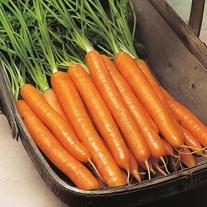 Carrot Trevor F1 Seeds