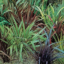 Phormium Species Mixed Seeds