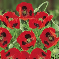 Poppy Ladybird Seeds