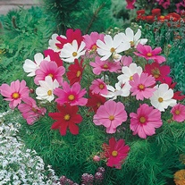 Cosmos Dwarf Sonata Mixed Seeds