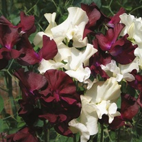 Sweet Pea Velvet Cream Seeds