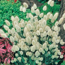 Grass Bunny Tails Seeds