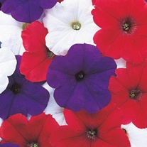 Petunia Celebrity Bunting F1 Seeds