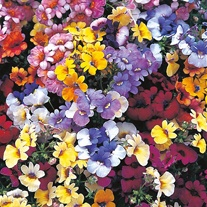 Nemesia Pastel Mixed Seeds