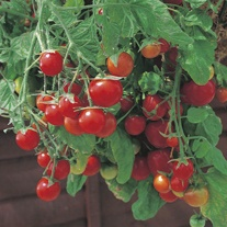 Tomato (Cherry) Tumbling Tom Red Seeds