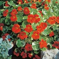 Nasturtium Alaska Tip Top Red Seeds