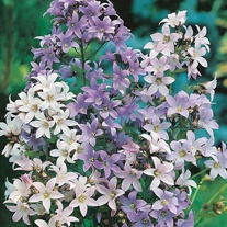 Campanula Mixed Colours Seeds