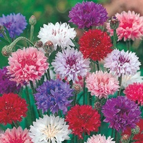 RSPB Cornflower Polka Dot Seeds