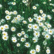 Chrysanthemum Ox Eye Daisy