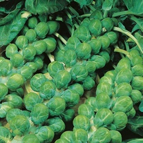 Brussels Sprout Evesham Special Seeds