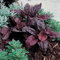 Salad Leaves Beetroot Bulls Blood Seeds