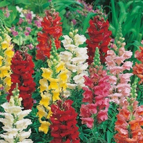 Antirrhinum Rust Resistant Mixed Seeds