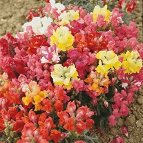Antirrhinum Magic Carpet Mixed Seeds