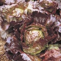 Lettuce Sioux