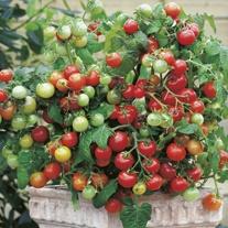 Tomato (Cherry) Maskotka Seeds