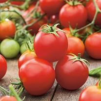 Tomato Tumbler F1 (Cherry) Plants