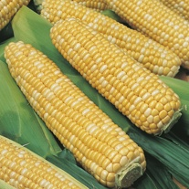 Sweet Corn Ambrosia F1 Seeds